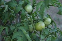 Niedojrzali zieleni organicznie pomidory z zielonymi liśćmi r w ogródzie w polu Ogrodnicze uprawy rolniczy fotografia royalty free