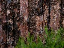 Niedokończona sosny deska z jałowem, cięcie, zakończenie, barkentyna, kępki, tekstura korowaty drewniany use jako naturalny tło,  obrazy royalty free