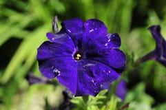 Niedokonany błękitny kwiat Zdjęcie Royalty Free