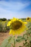 Niedokonany słonecznik w ogródzie Obraz Royalty Free
