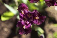 Niedrig-gezüchtete kastanienbraune Frühlingsiris im Garten Wachsende Burgunder-Blumen Lizenzfreie Stockbilder