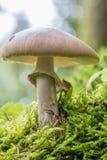 Niedrig-Winkelansicht eines Pilzes mit einer Schnecke im Torfmoosmoos stockfoto