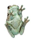 Niedrige Winkelsicht des Amazonas-Milch-Frosches lizenzfreie stockbilder
