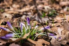 Niedrige Winkelsicht des purpurroten Krokusses blüht im Vorfrühling stockbild