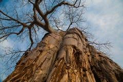 Niedrige Winkelsicht eines Baobab Lizenzfreie Stockfotos