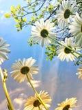 Niedrige Winkelsicht von Gänseblümchen in der Sonne stockfotografie