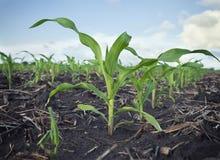 Niedrige Winkelsicht von jungen Maispflanzen auf einem Gebiet Lizenzfreies Stockbild