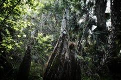 Niedrige Winkelsicht von Knien der kahlen Zypresse in Florida-Wald stockfotografie