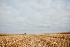 Niedrige Winkelsicht zwischen Reihen der geschnittenen Maisstoppel Stockbilder
