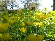 Niedriger Abschluss herauf Makrodetail von gelben Blumen der Butterblume Ranuncu Stockbilder