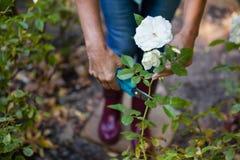 Niedriger Abschnitt der älteren Frau Anlage der weißen Blume mit Beschneidungsscheren trimmend Lizenzfreies Stockbild