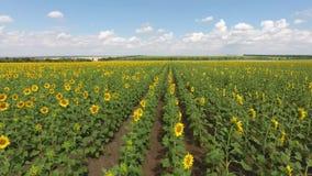 Niedriger Flug über dem Feld von Sonnenblumen Aufzug am Ende stock video