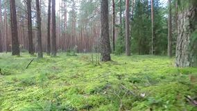 Niedriger Flug zwischen Bäumen im Wald stock footage