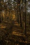 Niedriger Sonnenlichtcasting strahlt und Schatten zwischen Bäumen in forrest aus Stockfotografie