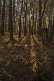 Niedriger Sonnenlichtcasting strahlt und Schatten zwischen Bäumen in forrest aus Stockbilder