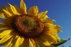Niedriger Winkel der Sonnenblume lizenzfreies stockbild