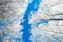 Niedriger Winkel der Winterbäume Stockfotografie