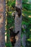 Niedźwiadkowi lisiątka wspinają się up drzewa Zdjęcia Royalty Free