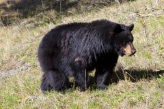 niedźwiadkowy czerń Zdjęcia Stock