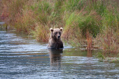 niedźwiadkowy nabrzeżny przyglądający łosoś Zdjęcie Stock