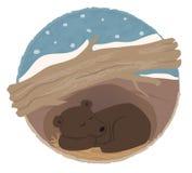 Niedźwiadkowy Zapadać w sen zimowy Fotografia Stock