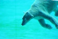 niedźwiedź biegunowy pod wodą Obrazy Royalty Free