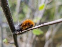 niedźwiedź gąsienicowy woolly Fotografia Stock