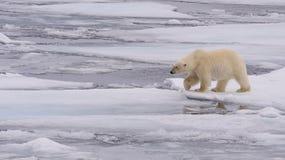 Niedźwiedź Polarny Obraz Royalty Free
