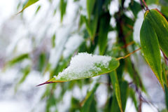 Śnieg, bambus, zima Obraz Stock