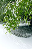 Śnieg, bambus, zima Fotografia Stock