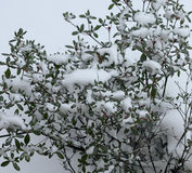 Śnieg na Bush Obraz Royalty Free