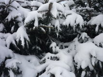 Śnieg na jedlinach Zdjęcie Royalty Free