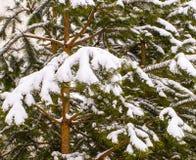 Śnieg na jedlinowych drzewach Zdjęcie Royalty Free