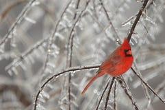śnieg ptaka Zdjęcia Stock