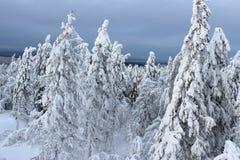 śnieg sosnowy Zdjęcie Stock