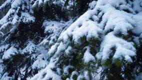 ?nieg spada przy jedlinowymi drzewami zbiory