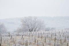 Śnieg w winnicach Fotografia Royalty Free