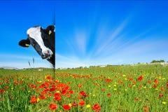 Niegrzeczna krowa w łące Obraz Royalty Free