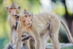 Niegrzeczna małpa 3 Zdjęcia Royalty Free