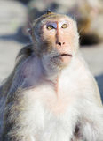 Niegrzeczna małpa 9 Zdjęcie Royalty Free