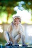 Niegrzeczna małpa 8 Obraz Royalty Free