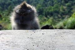 Niegrzeczna małpa, Indonezja Fotografia Royalty Free