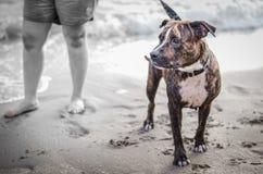 Niegrzeczni psy na plaży Obrazy Royalty Free