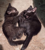 Niegrzeczny czerni figlarek bawić się Obraz Royalty Free
