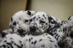 Niegrzeczny dalmatian szczeniaka sen Zdjęcie Stock