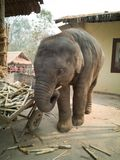 Niegrzeczny dziecko słoń zdjęcia stock