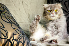 Niegrzeczny kolor żółty przyglądał się kota gapi się przy kątem i bawić się jej cieki Obrazy Royalty Free