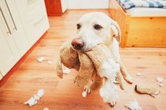 Niegrzeczny psa dom samotnie Fotografia Royalty Free