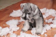 Niegrzeczny zły śliczny schnauzer szczeniaka pies zrobił bałaganowi w domu, zniszczona mokiet zabawka Pies jest domowy samotny obrazy stock