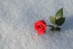 śniegurek czerwona róża Obraz Stock
